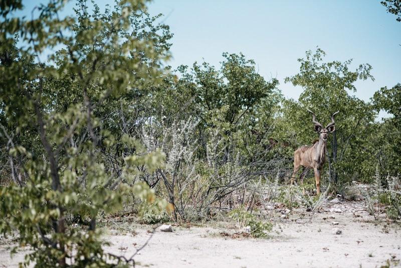 Gemsbock in Etosha National Park Namibia