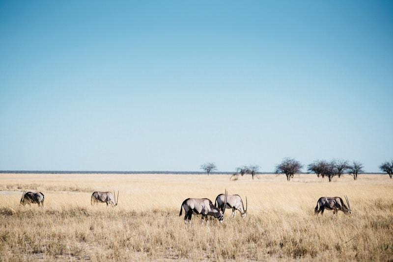 Orix in Namibia Etosha National Park