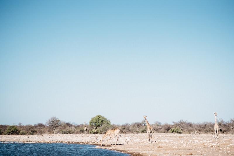 Drinking Giraffe in Namibia Etosha National Park