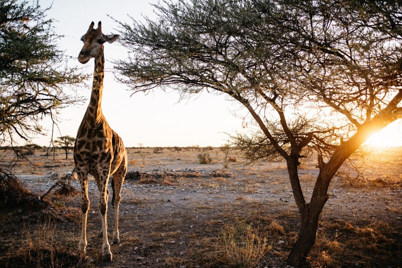 Giraffe at sunset in Namibia Etosha National Park