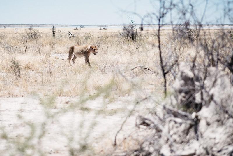 Lion in Namibia Etosha National Park