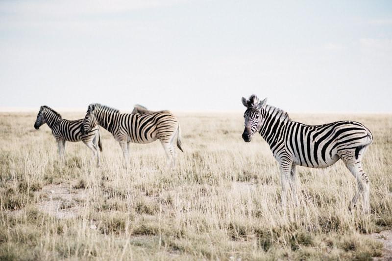 Zebras in Namibia Etosha National Park