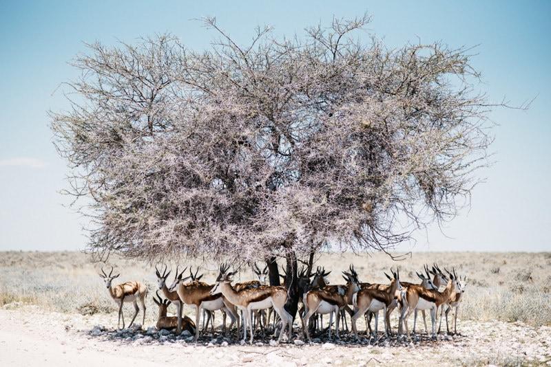 Gemsbock in Namibia Etosha National Park