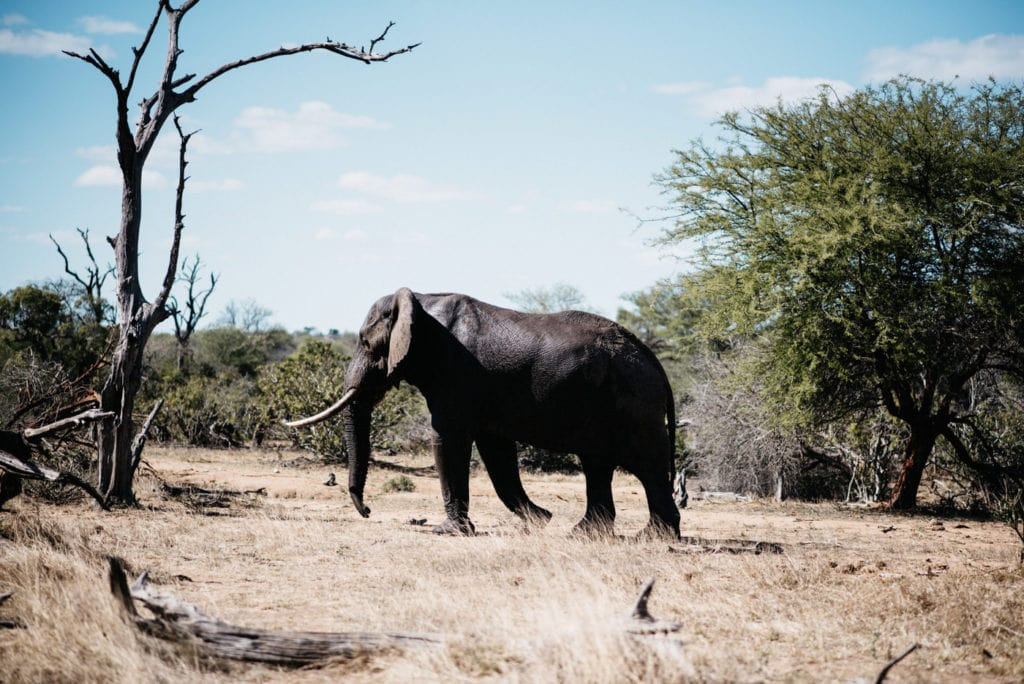 African elephant in Kruger National Park