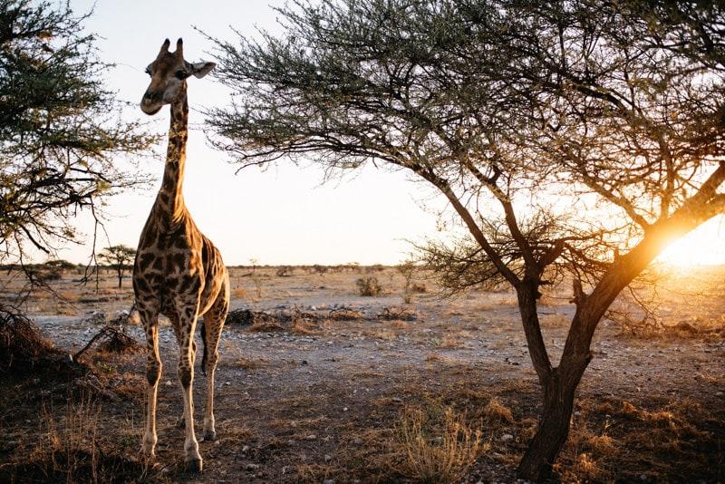Giraffe Kruger National Park
