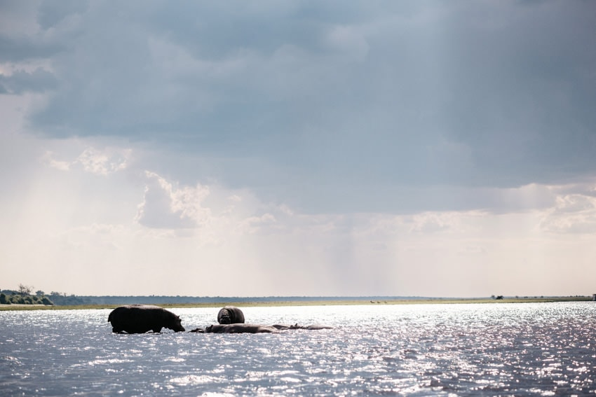 Chobe Boat Tour Hippos