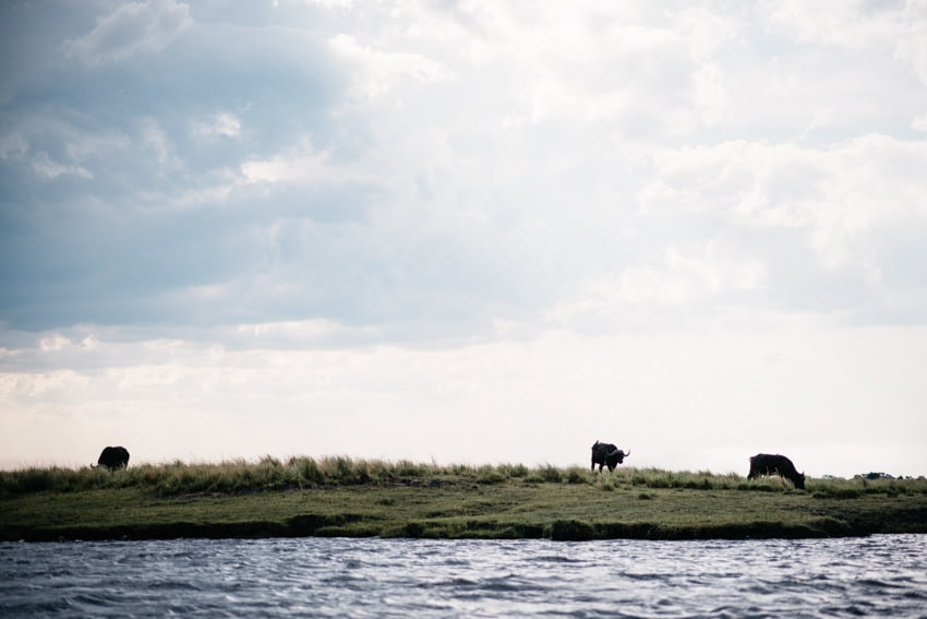 Chobe Boat Tour Water Buffalo