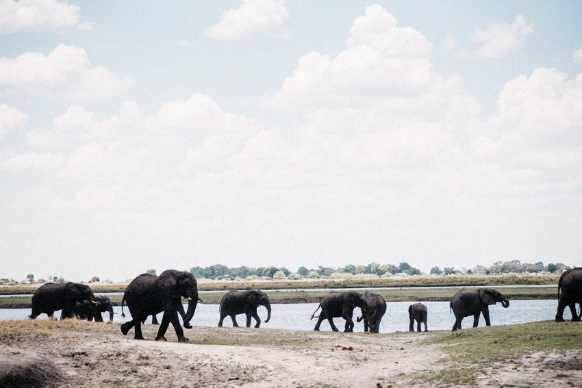 Elephant Herd in Chobe National Park