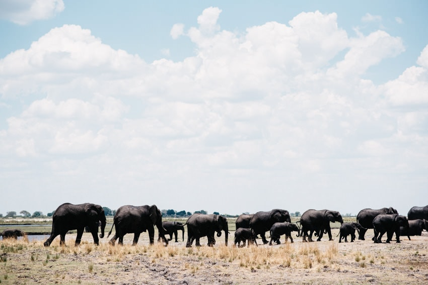 Huge Elephant Herd in Chobe