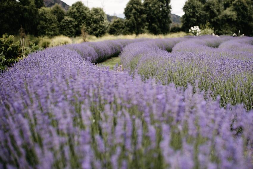 Blooming Lavender Wanaka