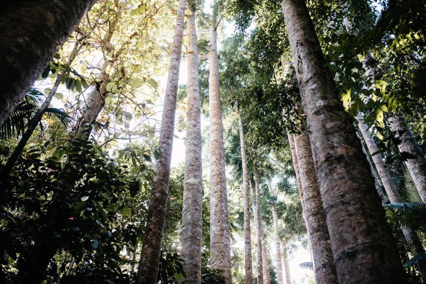 Paronella Park Kauri Trees