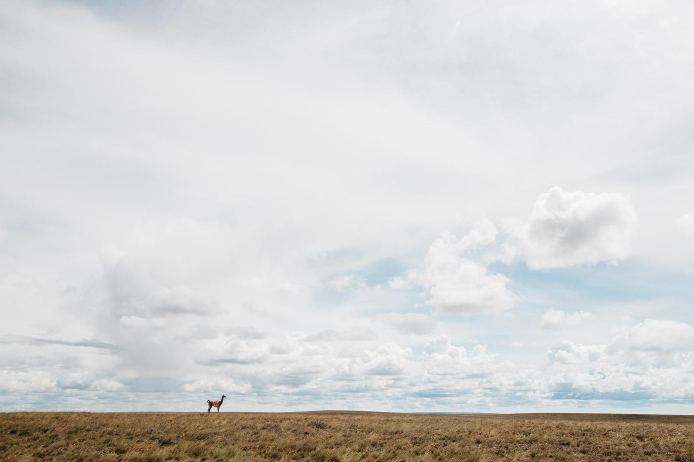 Impressions Driving Camping Patagonia Guanaco
