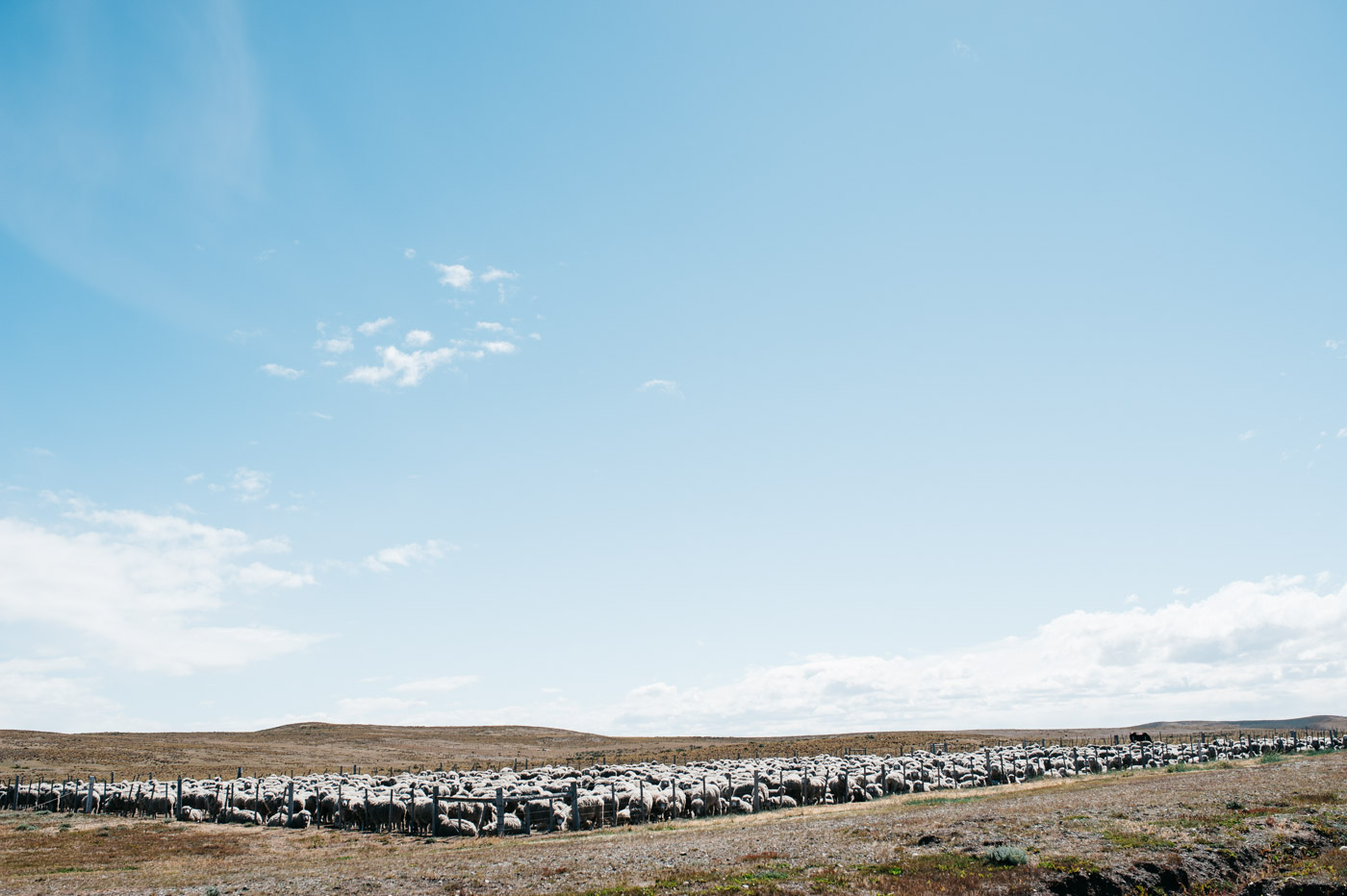 Impressions Driving Camping Patagonia Sheep in Tierra del Fuego