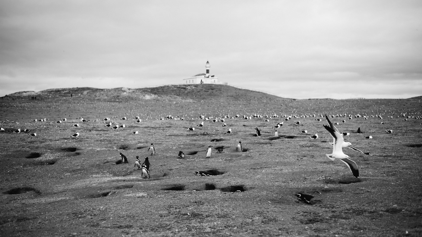 Penguins on Isla Magdalena with the the distinctive Lighthouse in the Background