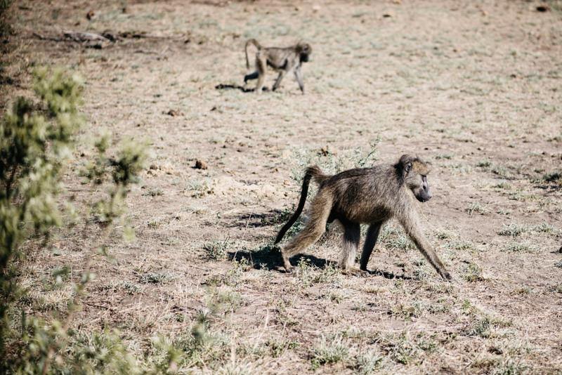 Kruger-National-Park-Safari-Monkey