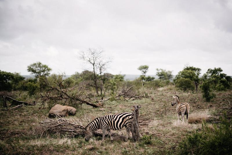 Kruger-National-Park-Safari-Zebra
