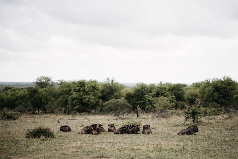 Kruger-National-Park-Safari-Wildebeest