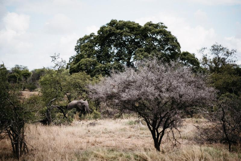 Kruger-National-Park-Safari-African-Elephant