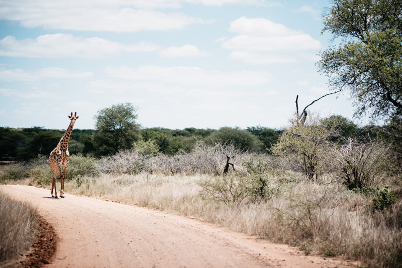 Kruger-National-Park-Safari-Giraffe