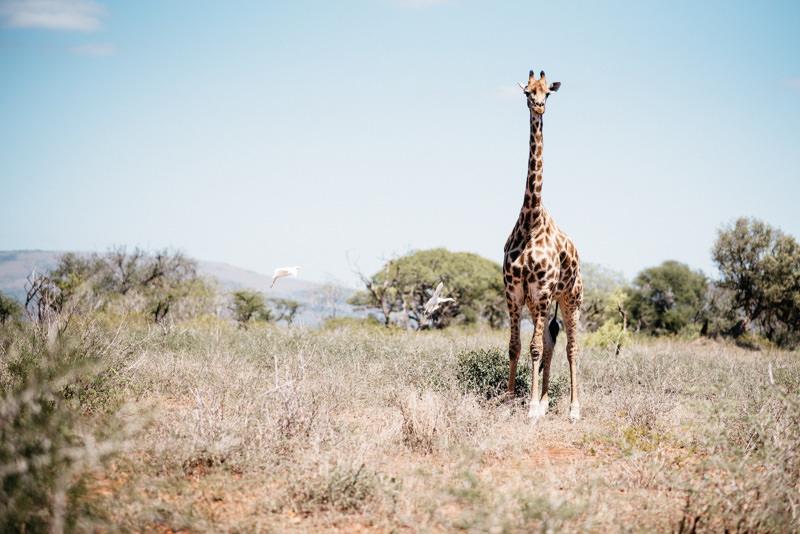 UMkhuze-Game-Reserve-Giraffe