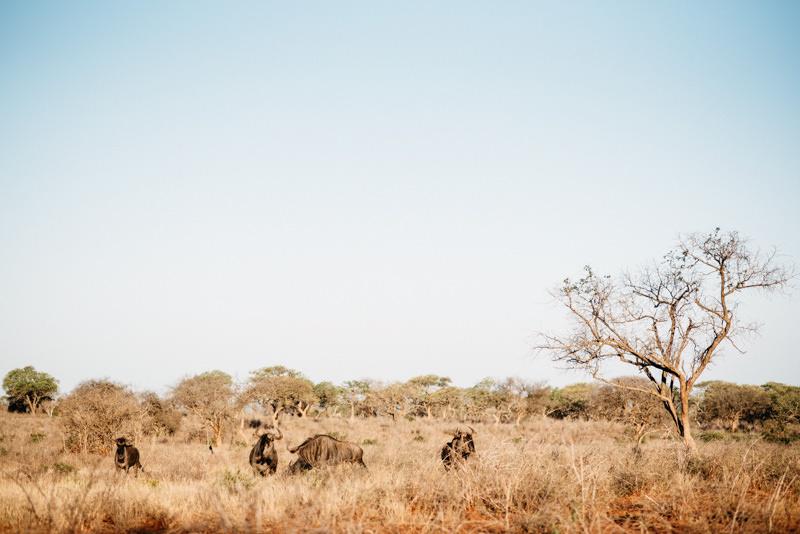UMkhuze-Game-Reserve-Wildebeest